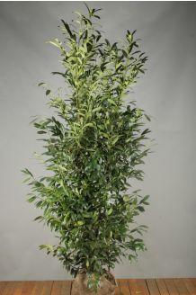 Kirschlorbeer 'Herbergii' Wurzelballen 200-225 cm Extra Qualtität Clod
