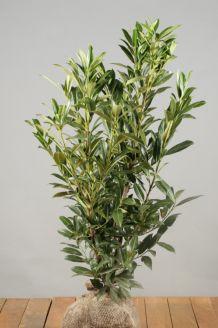 Kirschlorbeer 'Herbergii' Wurzelballen 80-100 cm Clod