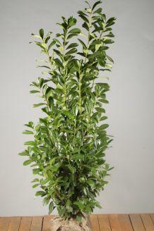Kirschlorbeer 'Novita' Wurzelballen 150-175 cm Clod