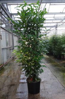 Kirschlorbeer 'Genolia' (175-200 cm) Extra Qualtität Pot