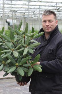 Rhododendron Roseum (40-50 cm) Pot