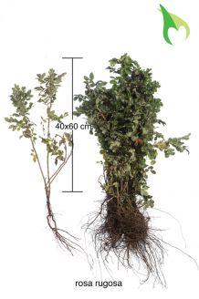 Kartoffelrose - Apfelrose (40-60 cm) Bare root