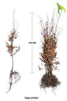 Rotbuche (125-150 cm) Extra Qualtität Bare root