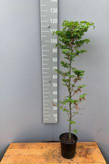 Rotbuche (100-125 cm) Pot