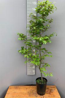 Rotbuche (125-150 cm) Pot