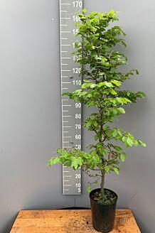 Rotbuche Topf 150-175 cm Pot