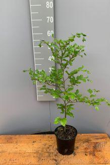 Rotbuche (40-60 cm) Pot