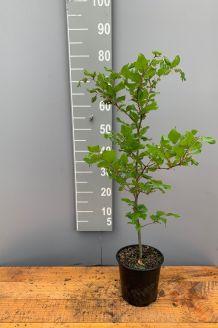 Rotbuche (60-80 cm) Pot