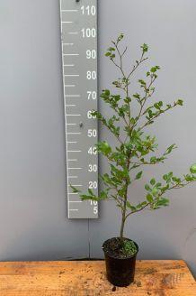 Rotbuche (80-100 cm) Pot