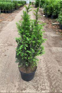 Eibe (60-80 cm) Pot