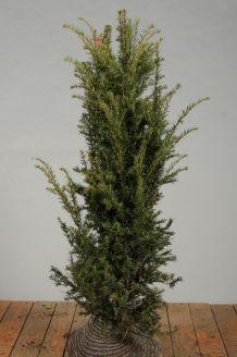 Eibe (125-150 cm) Extra Qualtität Clod
