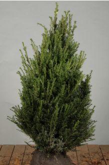Eibe (80-100 cm) Extra Qualtität Clod
