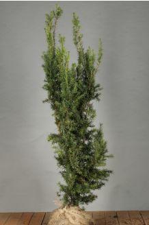 Becher-Eibe 'Hicksii' (100-125 cm) Clod