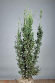 Becher-Eibe 'Hicksii' (125-150 cm) Clod