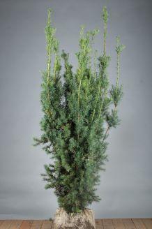 Becher-Eibe 'Hicksii' (150-175 cm) Extra Qualtität Clod