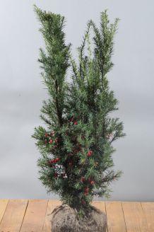 Becher-Eibe 'Hicksii' (60-80 cm) Clod