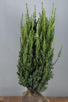 Becher-Eibe 'Hilli' Wurzelballen 100-125 cm Extra Qualtität Clod
