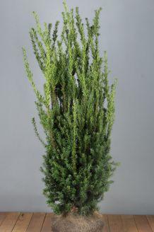 Becher-Eibe 'Hilli' Wurzelballen 125-150 cm Extra Qualtität Clod