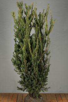 Becher-Eibe 'Hilli' Wurzelballen 150-175 cm Clod