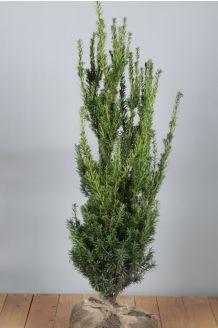 Becher-Eibe 'Hilli' Wurzelballen 60-80 cm Clod