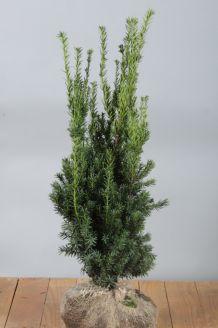 Becher-Eibe 'Hilli' Wurzelballen 80-100 cm Clod