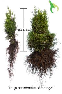 Lebensbaum 'Smaragd' Wurzelware 30-40 cm Bare root