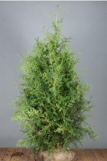 Lebensbaum 'Brabant' Wurzelballen 150-175 cm Extra Qualtität Wurzelballen