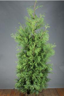 Lebensbaum 'Brabant' Wurzelballen 200-225 cm Extra Qualtität Wurzelballen