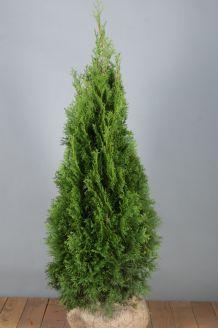 Lebensbaum 'Smaragd' Wurzelballen 100-125 cm Extra Qualtität Clod