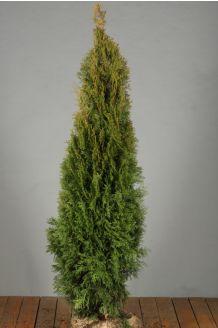 Lebensbaum 'Smaragd' Wurzelballen 125-150 cm Extra Qualtität Clod