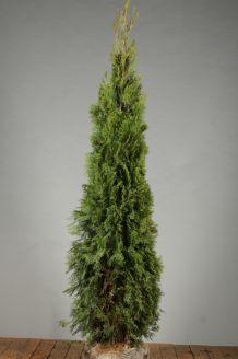 Lebensbaum 'Smaragd' Wurzelballen 175-200 cm Extra Qualtität Clod