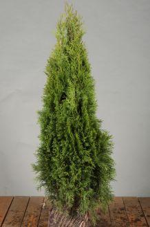 Lebensbaum 'Smaragd' Wurzelballen 60-80 cm Clod