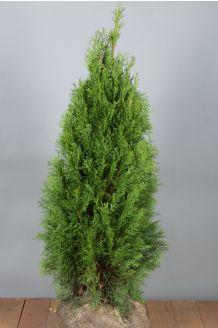Lebensbaum 'Smaragd' Wurzelballen 80-100 cm Extra Qualtität Clod