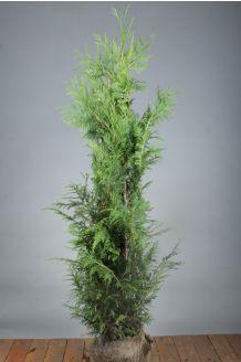 Lebensbaum 'Martin' (125-150 cm) Clod