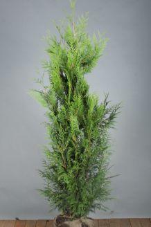 Lebensbaum 'Excelsa' (150-175 cm) Clod