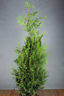 Lebensbaum 'Excelsa' (175-200 cm) Clod