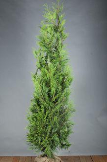 Lebensbaum 'Martin' (200-225 cm) Clod