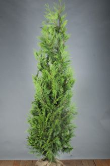 Lebensbaum 'Excelsa' (200-225 cm) Clod