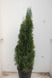 Lebensbaum 'Smaragd' Topf 150-175 cm Pot