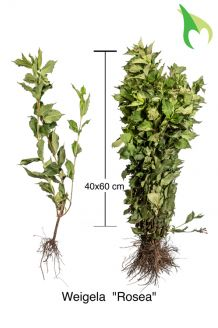 Weigelie 'Rosea' (40-60 cm) Bare root