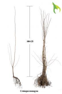 Eingriffeliger Weissdorn Wurzelware 100-125 cm Bare root