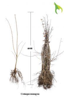 Eingriffeliger Weissdorn Wurzelware 60-80 cm Bare root