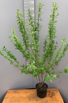 Wintergrüner Liguster Atrovirens (100-125 cm) Pot