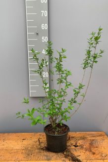 Wintergrüner Liguster 'Atrovirens' (40-60 cm) Pot