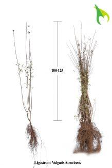 Wintergrüner Liguster 'Atrovirens' (100-125 cm) Bare root