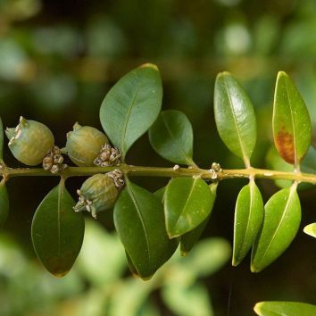 Gewöhnlicher Buchsbaum