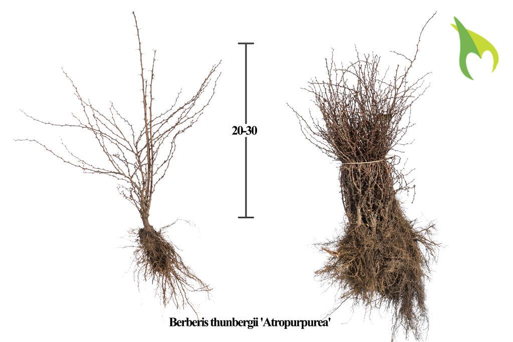 Blutberberitze (20-30 cm) Bare root