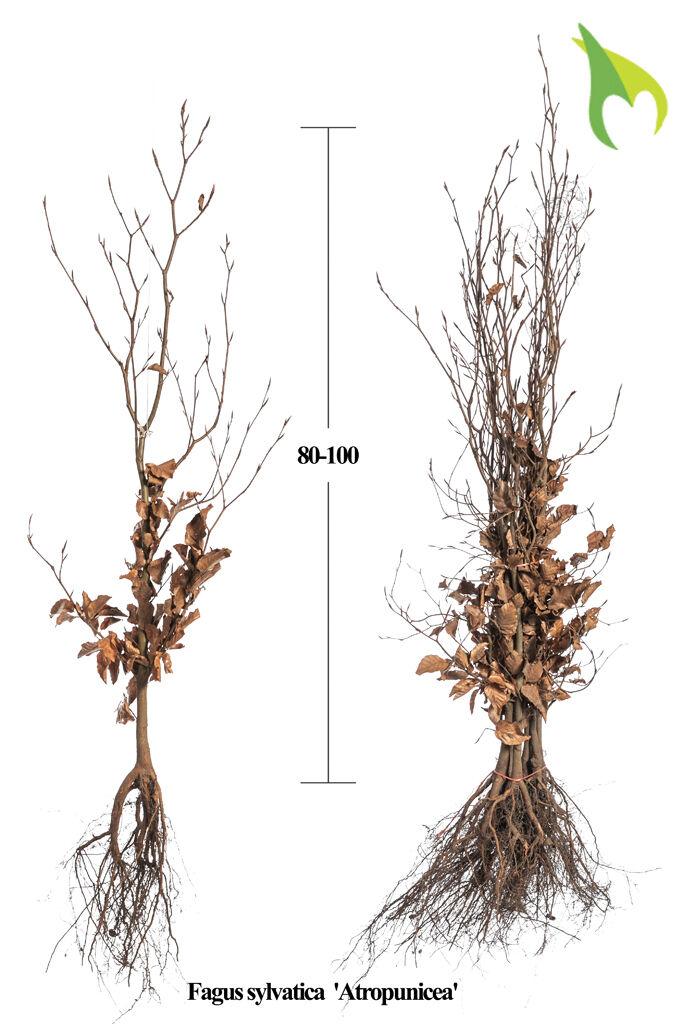 Blutbuche (80-100 cm) Bare root