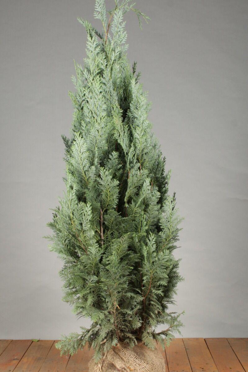 Blaue Scheinzypresse (100-125 cm) Extra Qualtität Clod