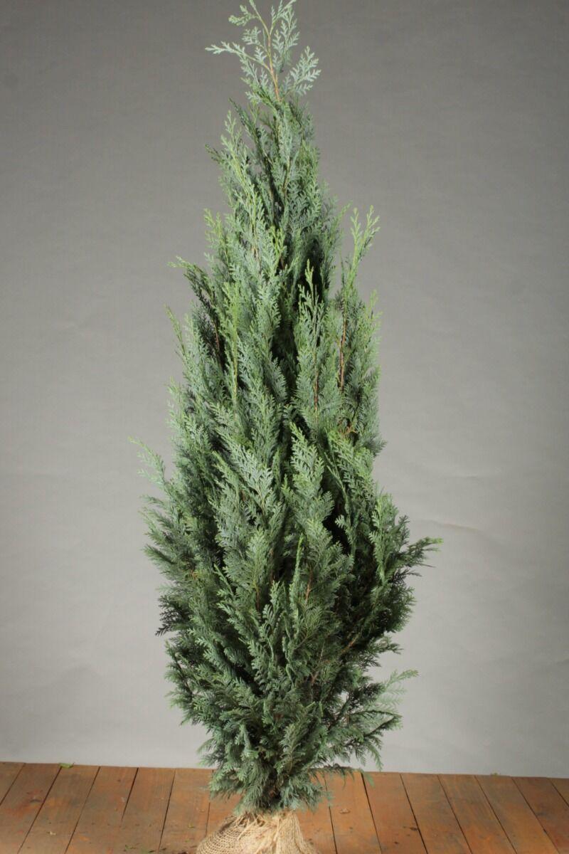 Blaue Scheinzypresse (125-150 cm) Extra Qualtität Clod